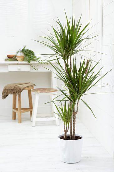 Dracaena House Plant Little Effort Easy Maintenance Plants
