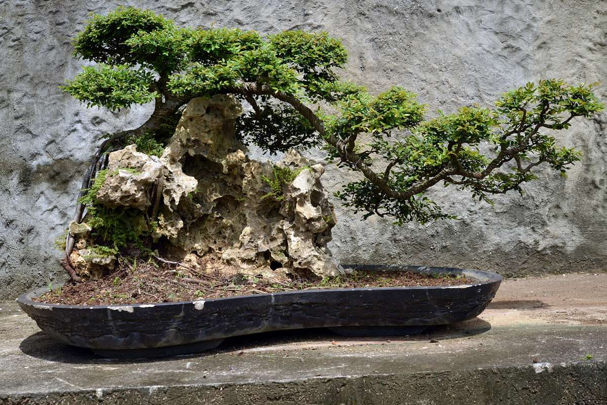 Home Tips How To Care For Your Bonsai Plant Decor Singapore Wiring Maple
