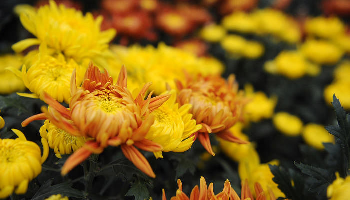 Chinese New Year Flowers Types To Choose And What They