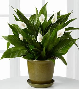alternative plants to air purifiers