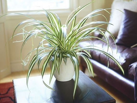 alternative plants for air purifiers