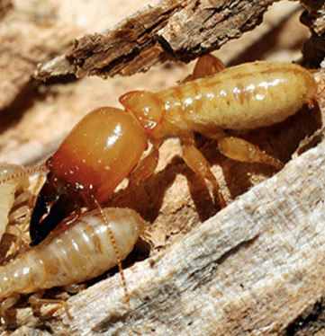 Don T Use Orange Oil To Kill Termites Here S Why Home Decor Singapore