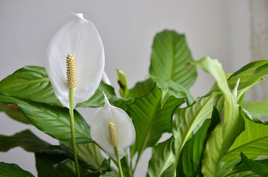 singapore indoor plant